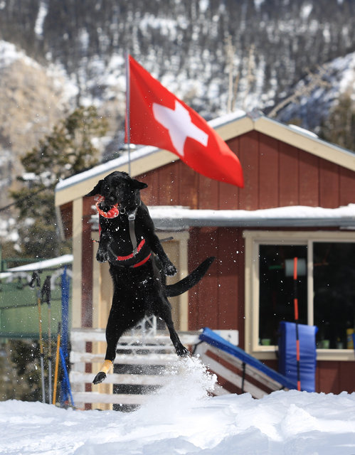 Avalanche rescue dog Lida, who is nearly 2 years old, catches a toy to be thrown during a training exercise at Lee Canyon ski resort on Mount Charleston on Thursday, Feb. 23, 2017, in Las Vegas. B ...