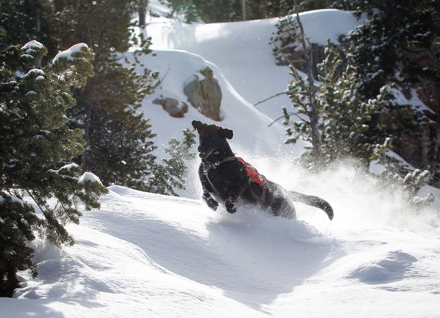 Avalanche rescue dog Lida, who is nearly 2 years old, jumps through a snow bank during a training exercise at Lee Canyon ski resort on Mount Charleston on Thursday, Feb. 23, 2017, in Las Vegas. Br ...