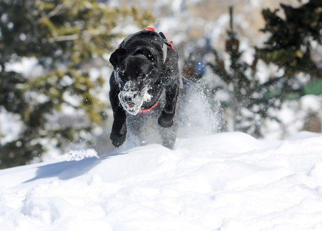 Eleven-month-old avalanche rescue dog Carson jumps through a snow bank during a training exercise at Lee Canyon ski resort on Mount Charleston on Thursday, Feb. 23, 2017, in Las Vegas. During the  ...