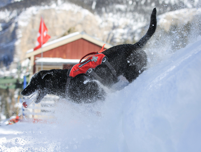 Eleven-month-old avalanche rescue dog Carson plays in the snow during a training exercise at Lee Canyon ski resort on Mount Charleston on Thursday, Feb. 23, 2017, in Las Vegas. During the exercise ...
