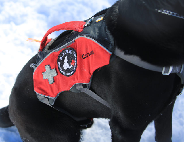 Eleven-month-old avalanche rescue dog Carson wears a vest while working during a training exercise at Lee Canyon ski resort on Mount Charleston on Thursday, Feb. 23, 2017, in Las Vegas. During the ...
