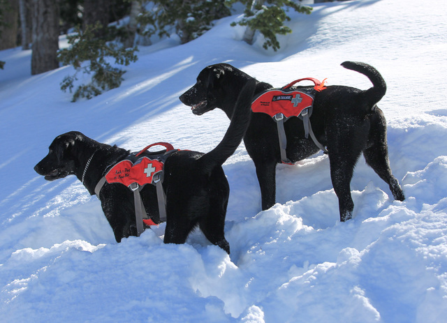 Avalanche Rescue Dogs Lida, left, and Carson, right, play in the snow after a training exercise at Lee Canyon ski resort on Mount Charleston on Thursday, Feb. 23, 2017, in Las Vegas. Brett Le Blan ...