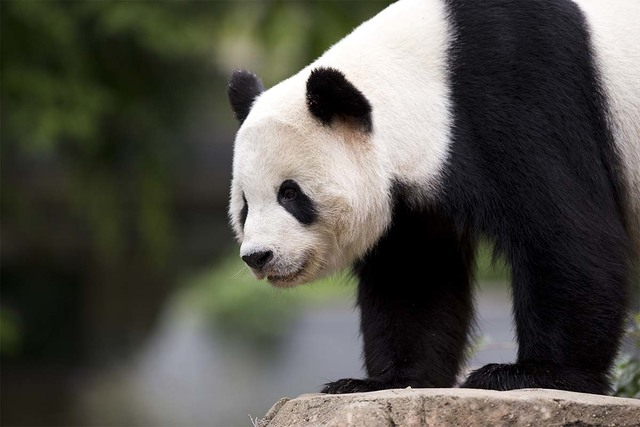 In this Sept. 25, 2015, file photo, panda cub Bao Bao, roams in an enclosure at the Smithsonian's National Zoo in Washington. Bao Bao is scheduled to depart the zoo Tuesday, Feb. 21, 2017 for a on ...