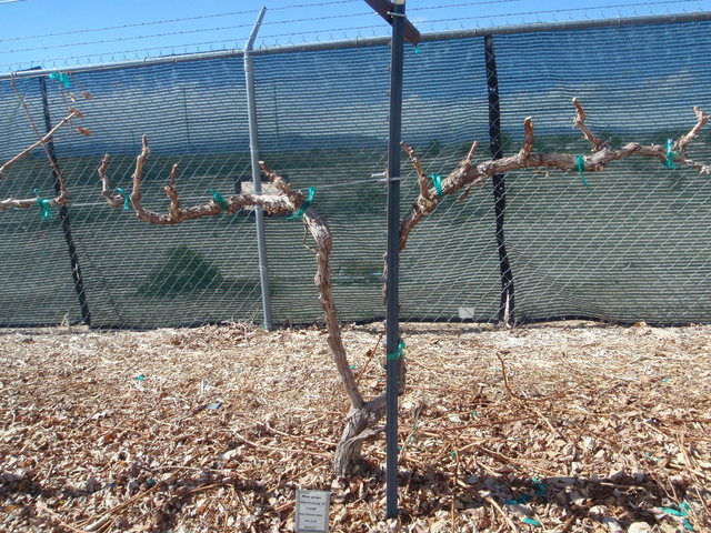 COURTESY Grape vines should be pruned now.