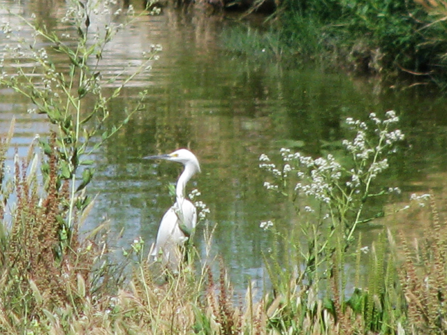 Many species called the Flamingo Wash home including this heron seen in a May 15, 2009 photo. This section of the wash is now a concrete channel. (F. Andrew Taylor/View)