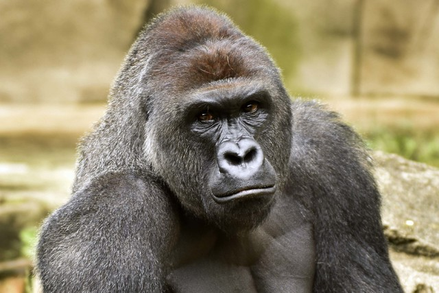 Harambe (Jeff McCurry/Cincinnati Zoo and Botanical Garden/AP)