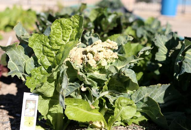Cauliflower at Zion Choice Neighborhood Community Garden Park on Wednesday, Feb. 1, 2017, in North Las Vegas. (Bizuayehu Tesfaye/Las Vegas Review-Journal) @bizutesfaye