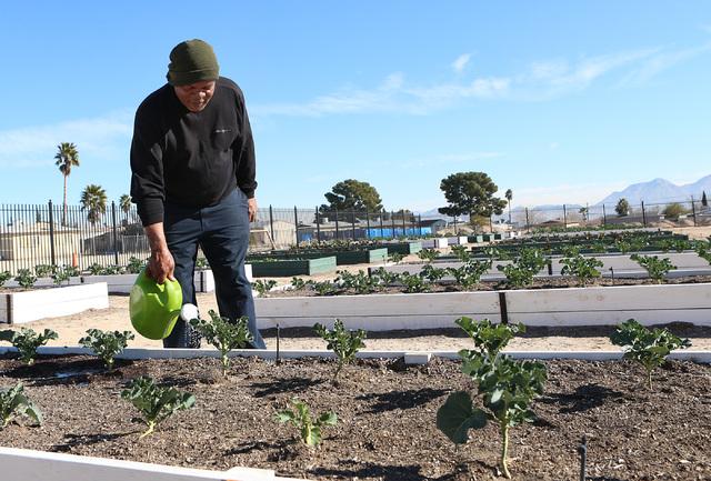 Harry Dodd waters collard greens at Zion Choice Neighborhood Community Garden on Wednesday, Feb. 1, 2017, in North Las Vegas. (Bizuayehu Tesfaye/Las Vegas Review-Journal) @bizutesfaye