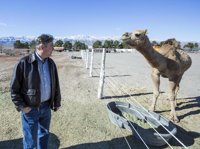 Scott Seastrand, VP at Western Elite, looks at a pet camel at on the Western Elite Ranch near U.S. 93 Highway about 60 miles north of Las Vegas on Wednesday, Jan. 25, 2017. (Jeff Scheid/Las Vegas  ...