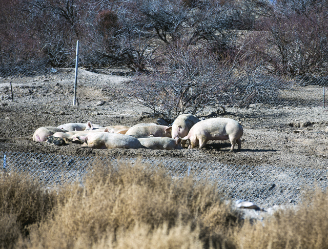 Pigs gather at the Western Elite Ranch near U.S. 93 Highway about 60 miles north of Las Vegas on Wednesday, Jan. 25, 2017. The pigs are fed recycled compose from the facility. (Jeff Scheid/Las Veg ...