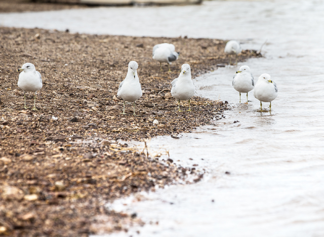 Seagulls scavenge for food on the shores at Lake Mead Marina on Tuesday, Feb 21, 2017, at Lake Mead  Recreational Area, in Boulder City. (Benjamin Hager/Las Vegas Review-Journal) @benjaminhphoto