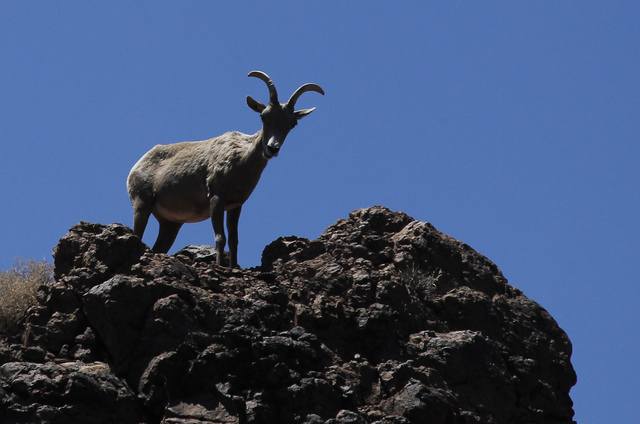 A Desert Big Horned Sheep is seen above the Black Canyon Water Trail on the Lower Colorado River in Lake Mead National Recreation Area on the Nevada and Arizona border east of Las Vegas on Thursda ...