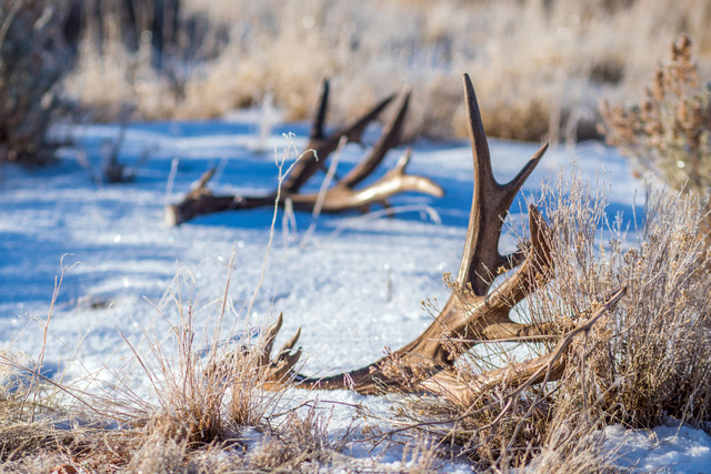 Shed antler gathering is an outdoor tradition enjoyed by many families. Utah has temporarily restricted the gathering of sheds to protect deer, elk and moose across the Beehive State. (Photo court ...