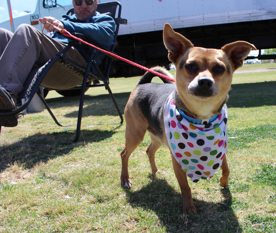 The LIED Animal Foundation brings dogs to Gary Reese Freedom Park in Las Vegas during Cesar Chavez Day to try and get them adopted, Saturday, March 25, 2017. (Gabriella Benavidez/Las Vegas Review- ...