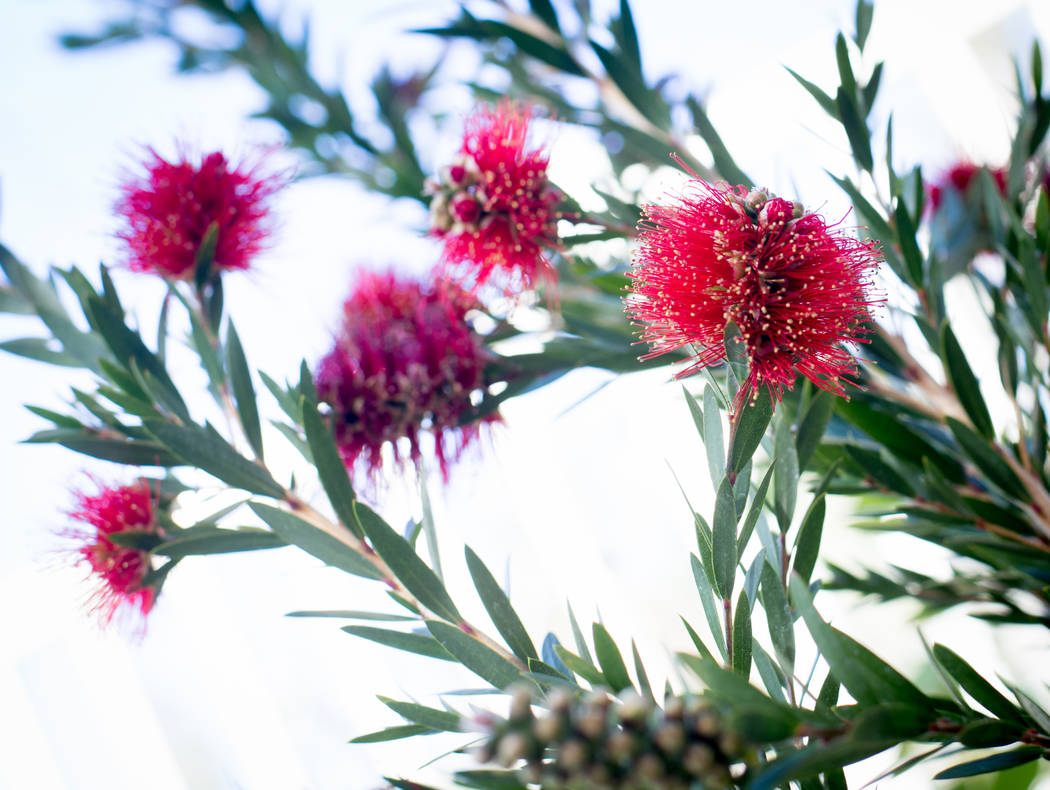TONYA HARVEY/YOUR HOME  Callistemon, commonly called bottlebrush, is blooming at the Cooperative Extension's Demonstration Gardens, 8050 Paradise Road.
