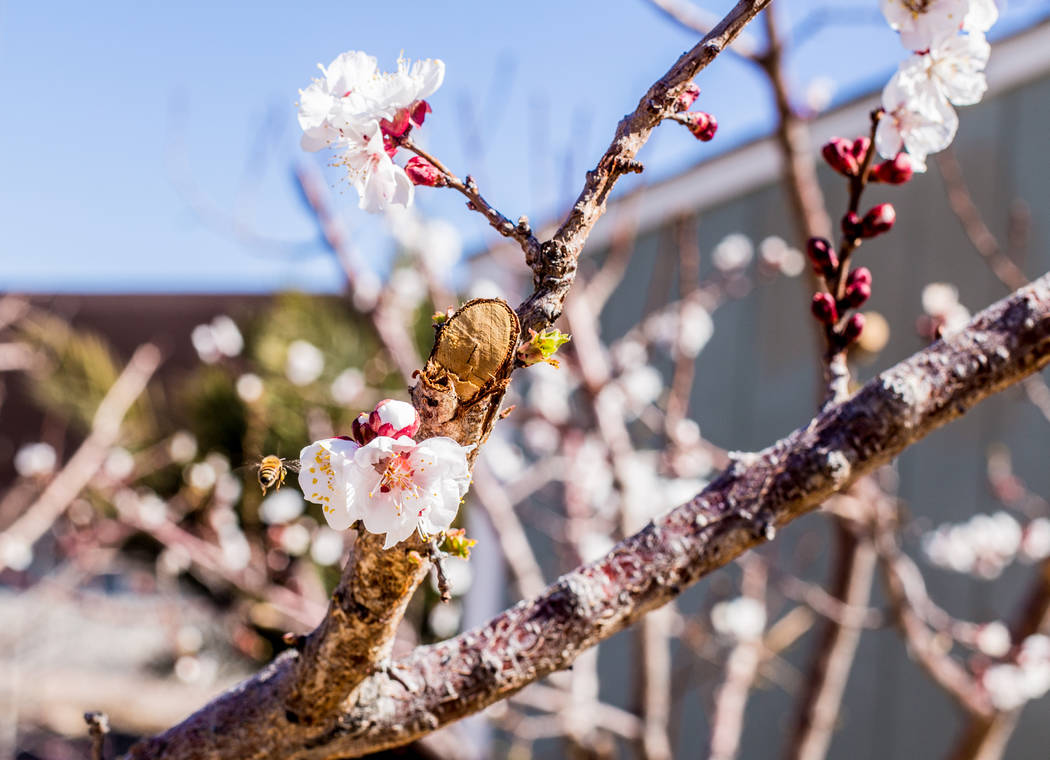 TONYA HARVEY/YOUR HOME Bees Are Pollinating This Flowering Fruit Tree At  The Cooperative Extensionu0027s