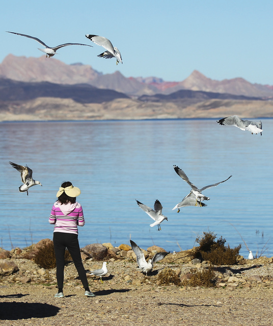 A woman feeds seagulls at Boulder Beach at Lake Mead National Recreation Area on Tuesday, Feb. 14, 2017. Chase Stevens/Las Vegas Review-Journal) @csstevensphoto