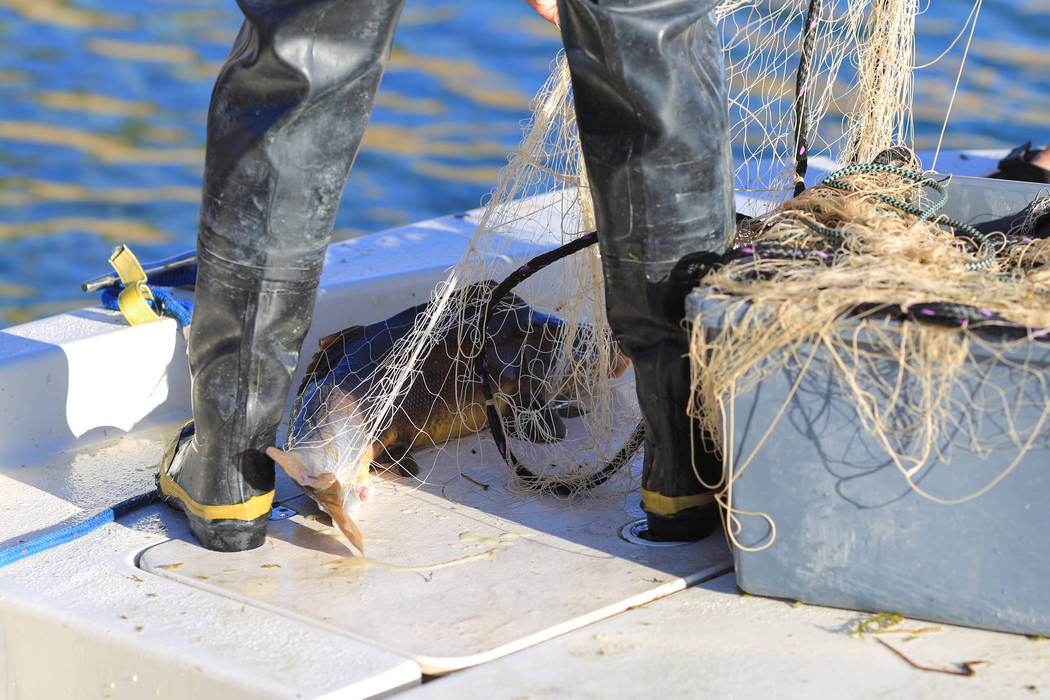 A razorback sucker fish lies on the deck of a boat while being untangled from a net during a collection on Lake Mohave outside of Las Vegas on Thursday, March 16, 2017. (Brett Le Blanc/Las Vegas R ...