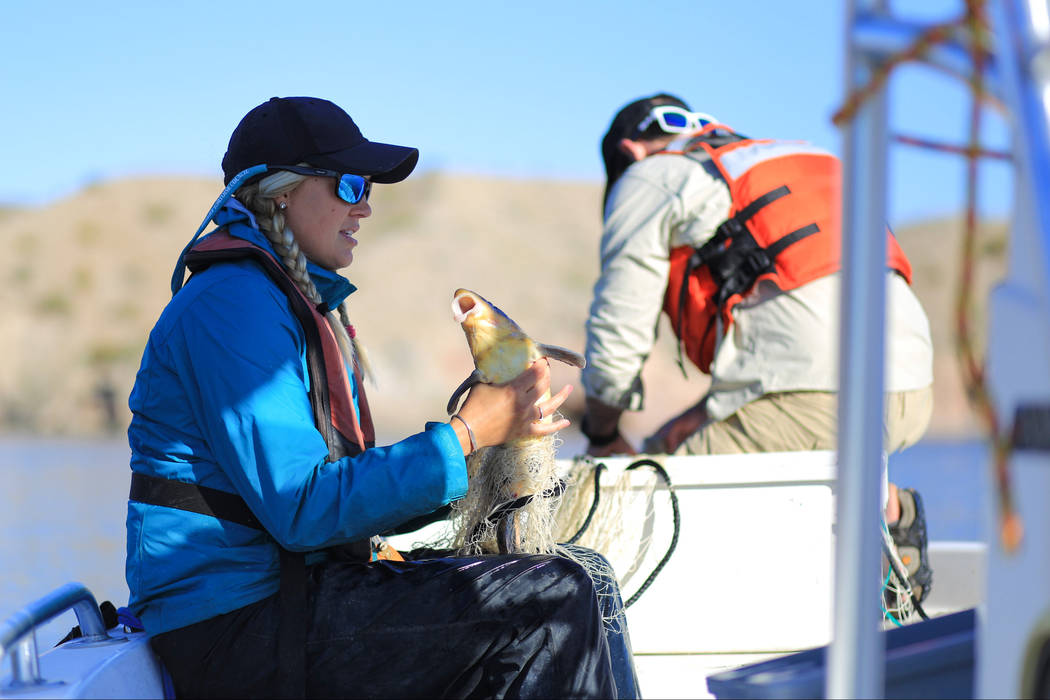 Julia Mueller, 28, fishery biologist for the Lake Mead National Recreation area, untangles a razorback sucker fish from a net during a collection on Lake Mohave outside of Las Vegas on Thursday, M ...
