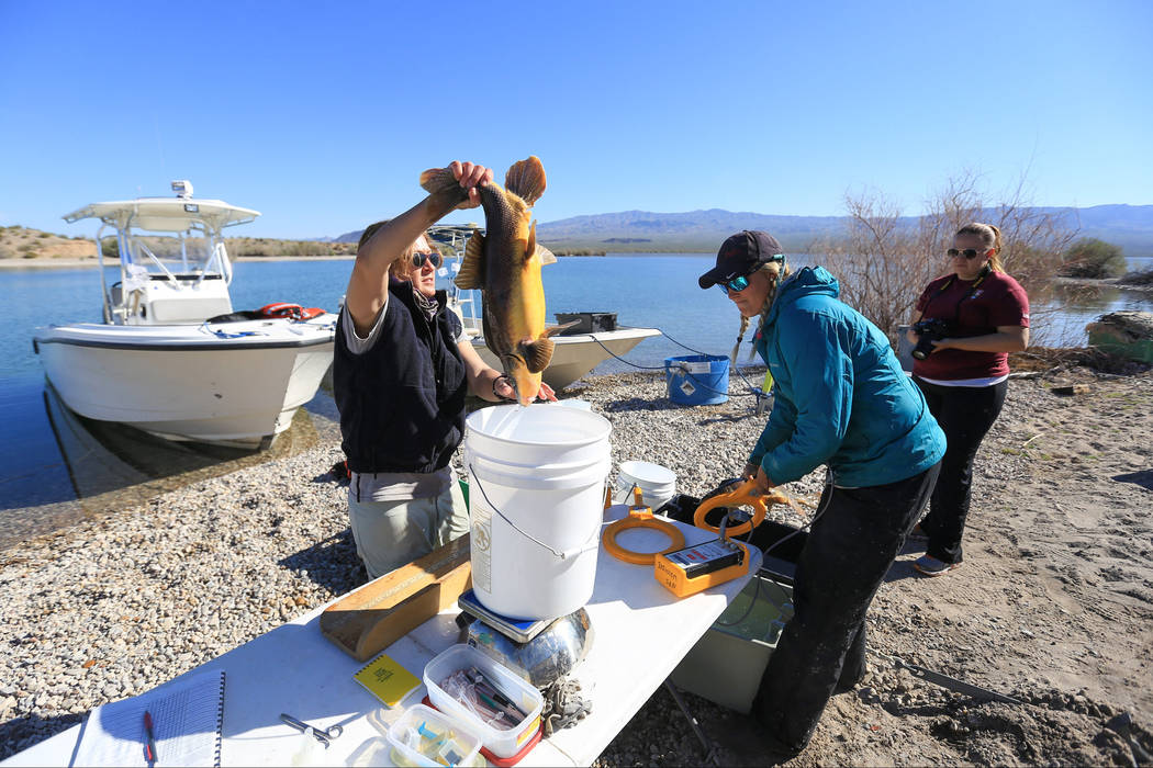 Julia Mueller, right, fishery biologist for the Lake Mead National Recreation area, and Lisa Osborn, left, Nevada Department of Wildlife Lake Mohave biologist, take measurements from a razorback s ...