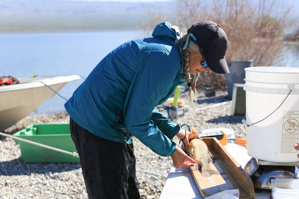 Julia Mueller, 28, fishery biologist for the Lake Mead National Recreation area, measures the length of a razorback sucker fish from a net during a collection on Lake Mohave outside of Las Vegas o ...