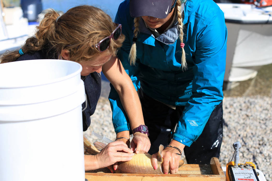 Julia Mueller, right, fishery biologist for the Lake Mead National Recreation area, and Lisa Osborn, left, Nevada Department of Wildlife Lake Mohave biologist, inject a tag into the fat of a razor ...