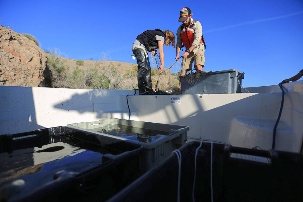 Lisa Osborn, left, Nevada Department of Wildlife Lake Mohave biologist, and Taylor Senegal, right, an aquatic invasive species research associate for the Great Basin Institute, untangle a razorbac ...