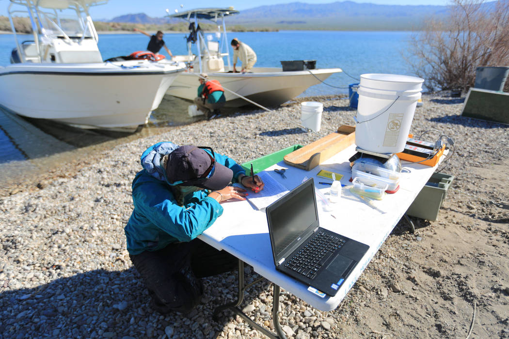 Julia Mueller, 28, fishery biologist for the Lake Mead National Recreation area, takes down measurements for a razorback sucker fish during a collection on Lake Mohave outside of Las Vegas on Thur ...