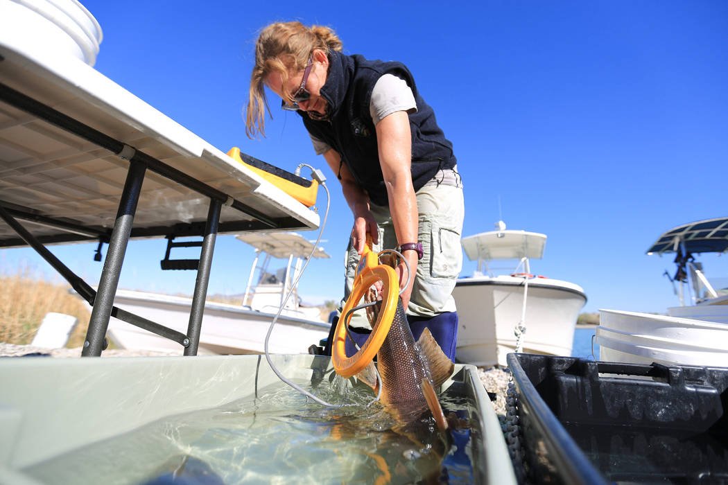 Lisa Osborn, Nevada Department of Wildlife Lake Mohave biologist, uses a scanner to check for a tag in a razorback sucker fish during a collection on Lake Mohave outside of Las Vegas on Thursday,  ...