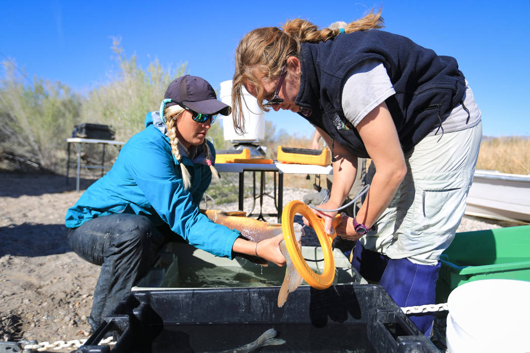 Julia Mueller, left, fishery biologist for the Lake Mead National Recreation area, and Lisa Osborn, right, Nevada Department of Wildlife Lake Mohave biologist, use a scanner to check for a tag on  ...
