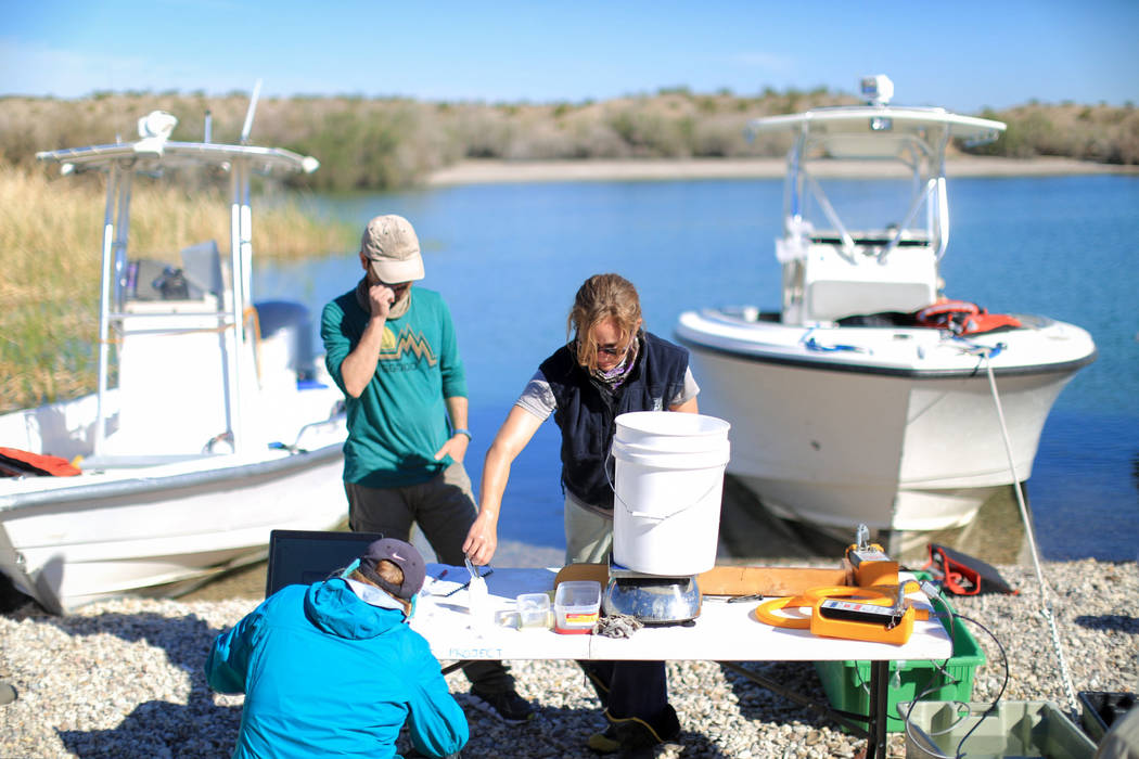 Biologists Lisa Osborn, right, Julia Mueller, left foreground, and Henry Weckesser, 34, left background, take measurements from a razorback sucker fish on Lake Mohave outside of Las Vegas on Thurs ...