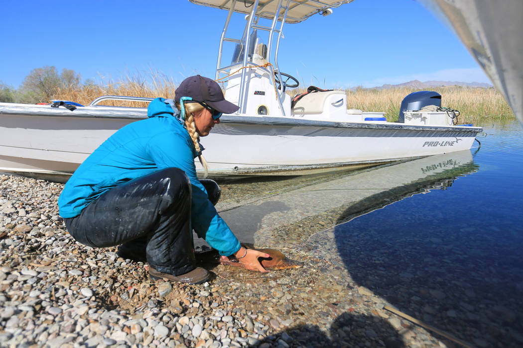Julia Mueller, 28, fishery biologist for the Lake Mead National Recreation area, releases a razorback sucker fish after taking measurements during a collection on Lake Mohave outside of Las Vegas  ...