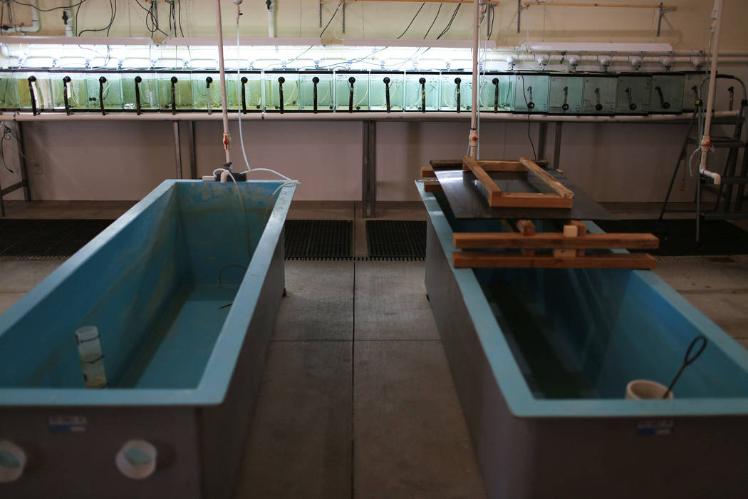 Razorback sucker fish live in small tanks before being transferred to larger ones at a later life stage at the Lake Mead Fish Hatchery in Las Vegas Friday, March 17, 2017. (Brett Le Blanc/Las Vega ...