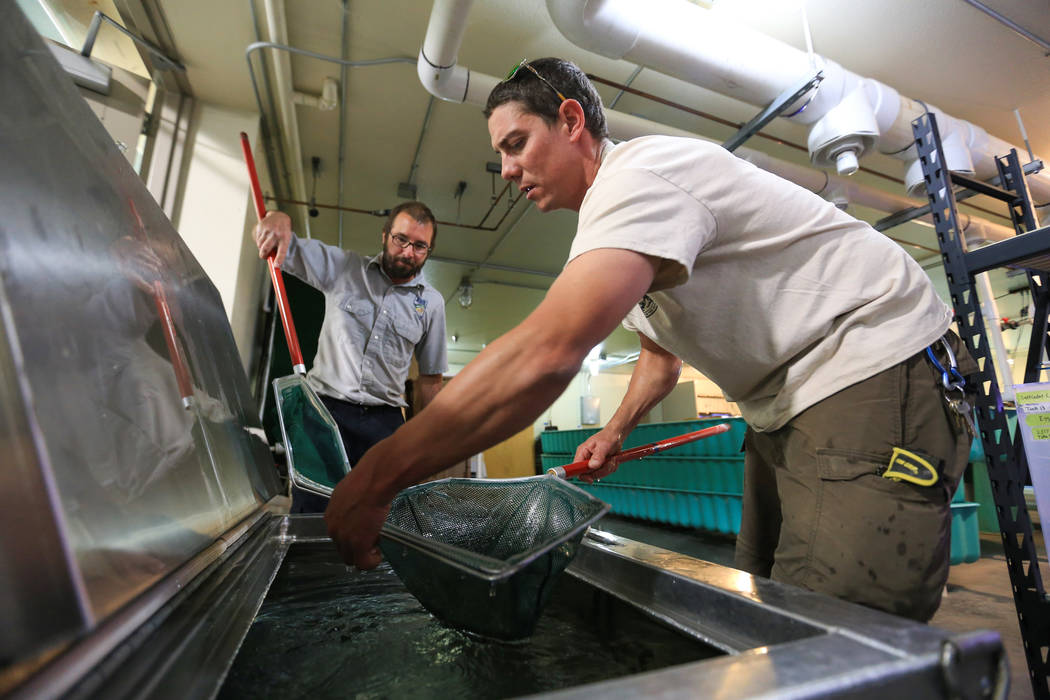 Gio Cappelli, right, of the Willow Beach National Fish Hatchery, and hatchery biologist Eric Laux, left, move young razorback sucker fish from a transport tank to a holding tank at the Lake Mead F ...