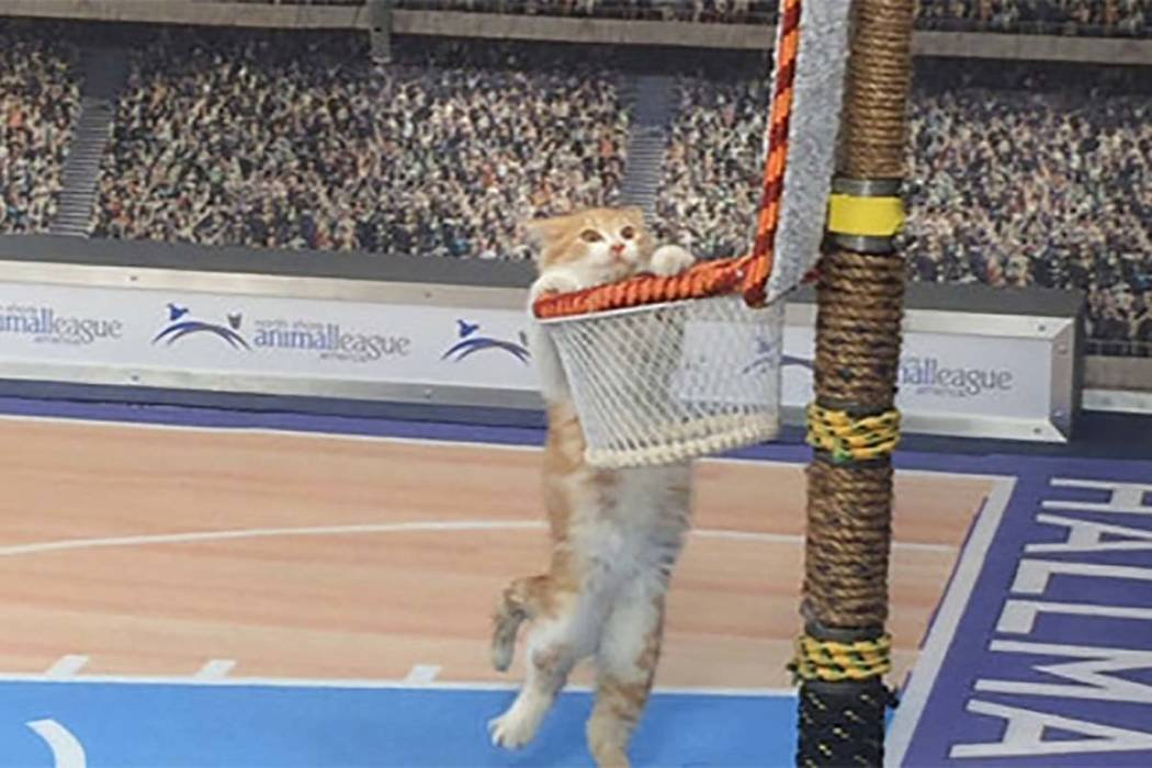 "In this Jan. 26, 2017, photo, a cat hangs from a basket on a mock basketball court, which was set up for Hallmark Channel's ""Meow Madness"" television show, at a soundstage in New York. (Doug Feinb ..."