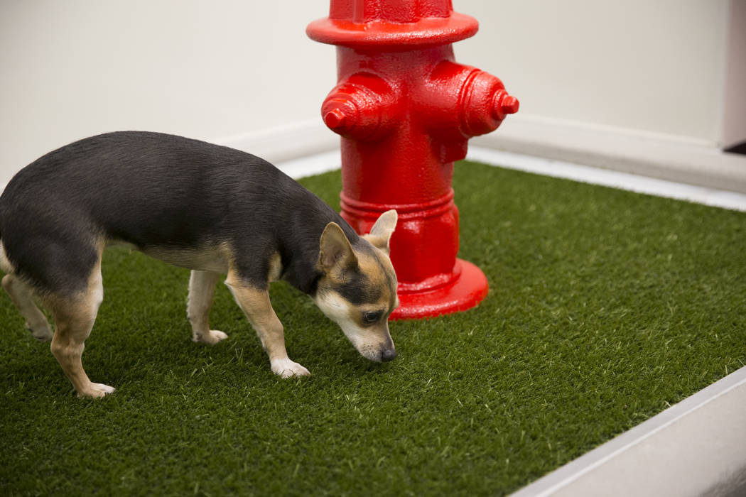 A dog inside the newly opened indoor pet relief room at McCarran International Airport Terminal 1 on Thursday, March 16, 2017, in Las Vegas. (Erik Verduzco/Las Vegas Review-Journal) @Erik_Verduzco