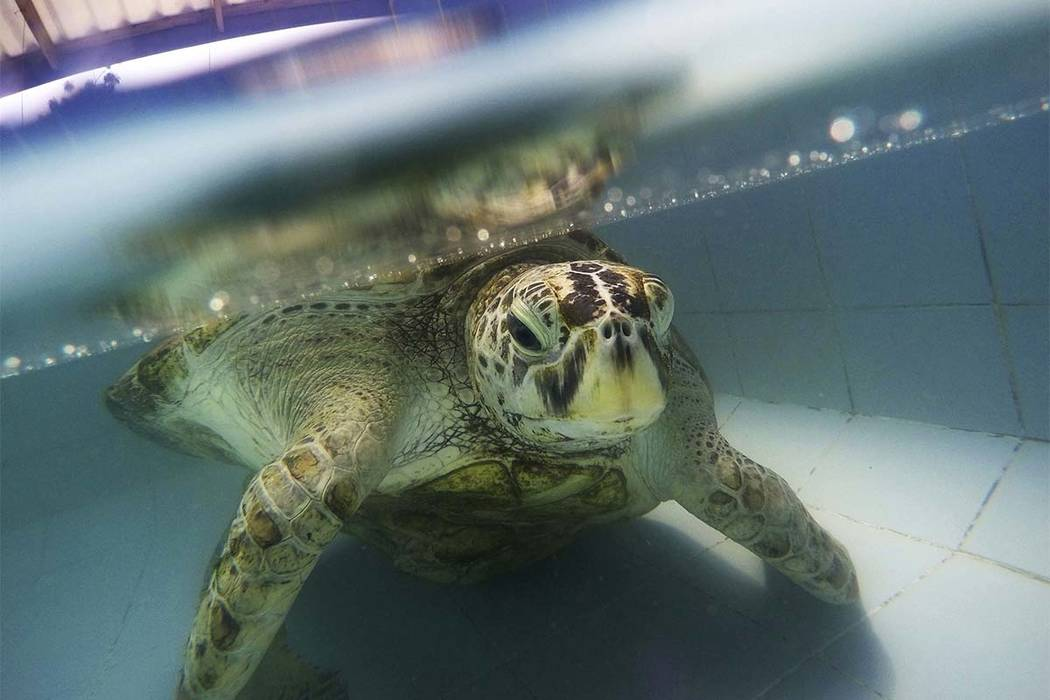 """A female sea turtle nicknamed """"Bank"""" died Tuesday, March 21, 2017, two weeks after having surgery to remove the coins from its stomach. (Sakchai Lalit/AP)"""