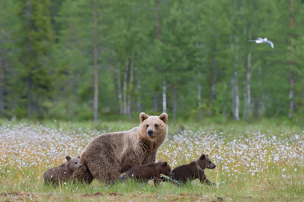 Female brown bear with three cubs (Thinkstock)