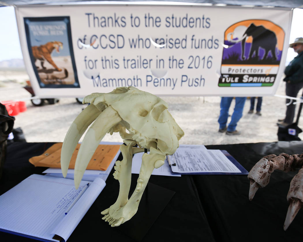 A Smilodon skull, more commonly known as a saber-toothed cat, sits on a table during a volunteer trash clean up day at Tule Springs Fossil Beds National Monument in Las Vegas on Saturday, March 4, ...
