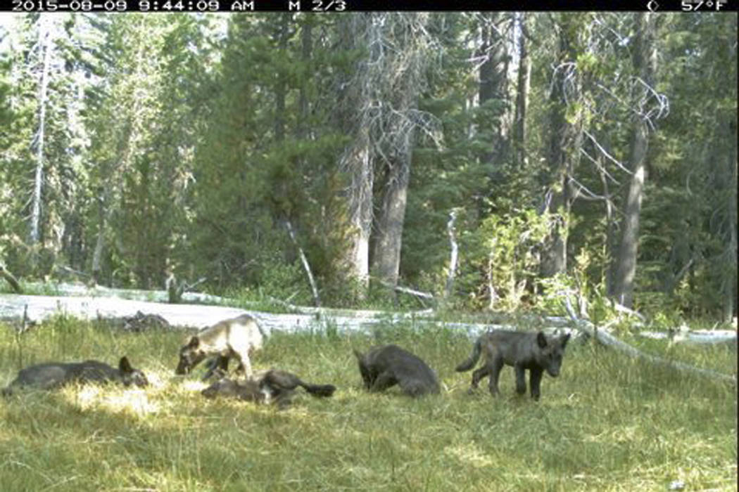 The Shasta pack on August 9, 2015. (California Dept. of Fish and Wildlife via AP)