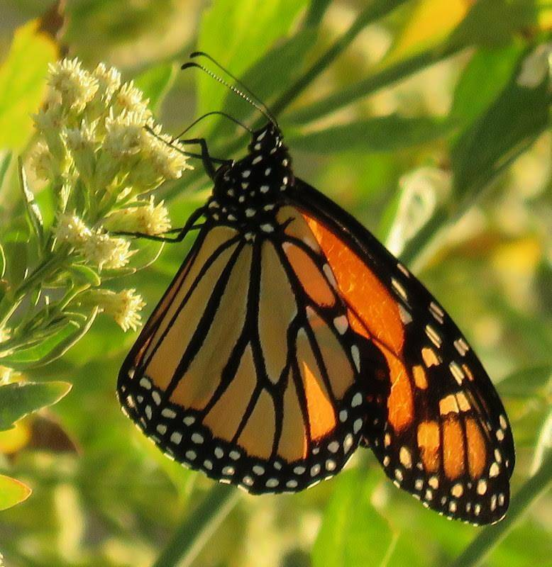 A monarch butterfly lights on spring growth in this undated photo taken at the Nature Conservancy's Torrance Ranch Preserve, 125 miles northwest of Las Vegas. (Len Warren/The Nature Conservancy)