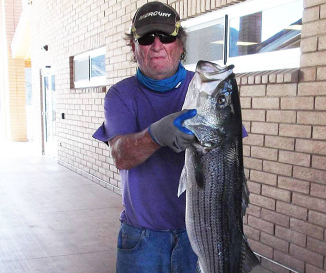 Jerry Thoresen caught this 21.5-pound striper at Willow Beach on Friday with a Rago bait. The staff at Willow Beach Marina photo documented his catch. (Willow Beach Marina)