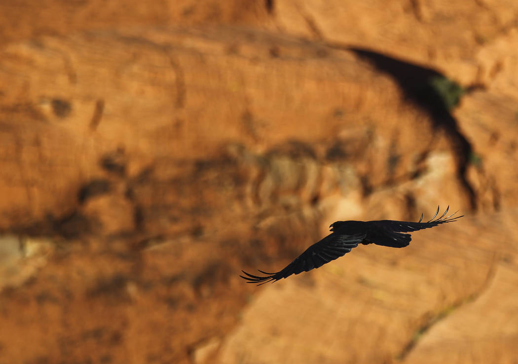 A raven flies around the Red Rock Canyon National Conservation Area outside of Las Vegas on Wednesday, March 29, 2017. (Chase Stevens/Las Vegas Review-Journal) @csstevensphoto