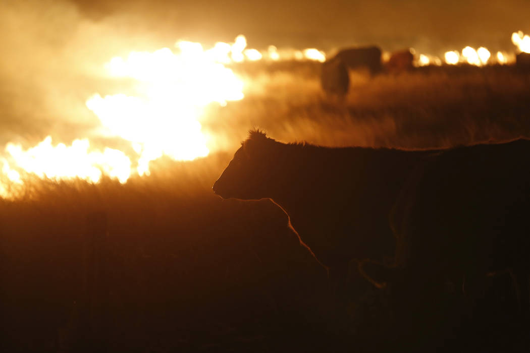 Cattle graze by a wildfire near Protection, Kan., early Tuesday, March 7, 2017. Grass fires fanned by gusting winds scorched swaths of Kansas grassland Monday, forcing the evacuations of several t ...