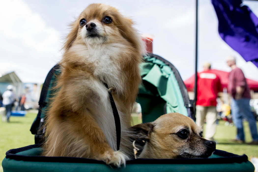 Hannah, a three-legged Pomeranian Chihuahua, left, sits with Hudson, a three-legged Chihuahua, during Bark In the Park, an event to celebrate dogs, at Cornerstone Park in Henderson on Saturday, Ma ...