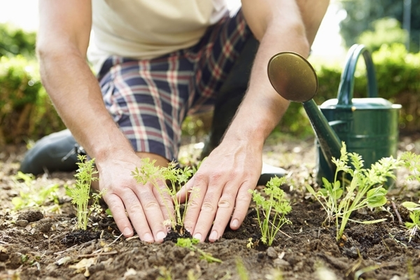 Close Up Of Man Planting Seedlings In Ground On Allotment