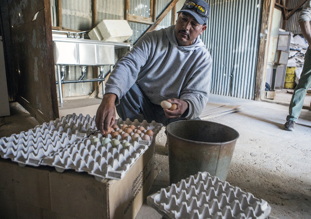 Farmhand Ernesto Jimenez carts fresh organic eggs in Amargosa Valley on Tuesday, Nov. 22, 2016. Jeff Scheid/Las Vegas Review-Journal Follow @jeffscheid