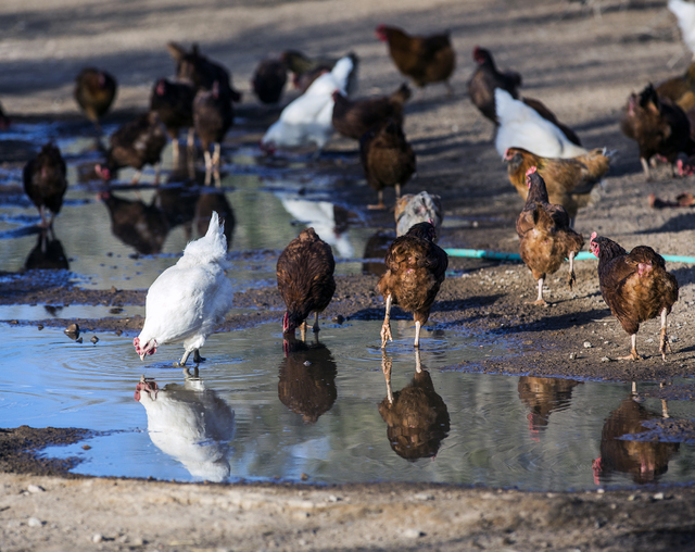 A chickens stand around a water hole at the T&T Ranch in Amargosa Valley on Tuesday, Nov. 22, 2016. The family is raising organic free range egg laying chickens. Jeff Scheid/Las Vegas Review-J ...