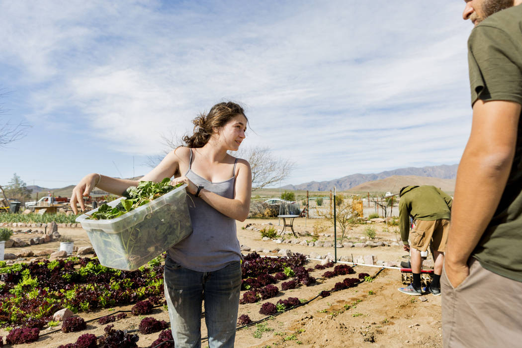 A volunteer with World Wide Opportunity on Organic Farms Leilah Mojarrab collects greens on the Desert Bloom Eco Farm in Tecopa, Calif. Thursday, March 23, 2017. (Elizabeth Brumley/Las Vegas Revie ...