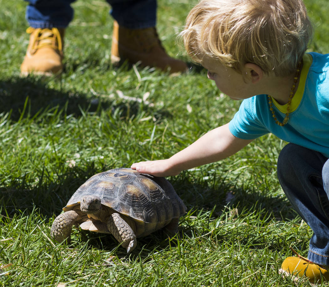 Drew Gemlich, 3, pets a desert tortoise named Abagail during the Mojave Spring Fling Festival at Spring Mountain Ranch State Park on Saturday, April 1, 2017. (Miranda Alam/Las Vegas Review-Journal ...